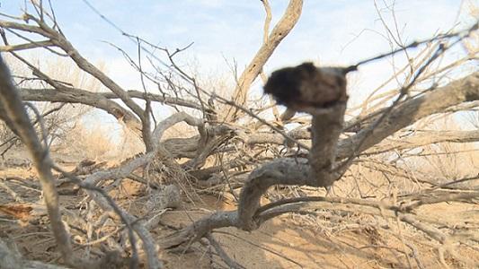 Одно деревце саксаула задерживает 10 кв.м. песка – специалист