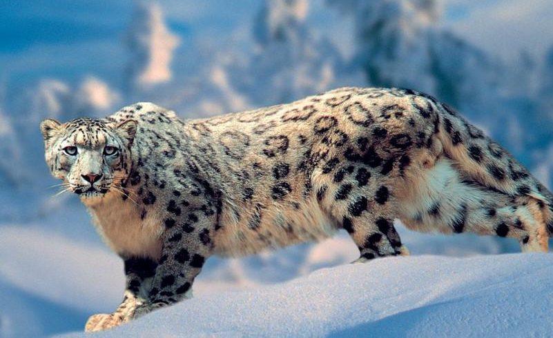 В Жонгар-Алатауском национальном парке снежный барс попал на фотоловушку