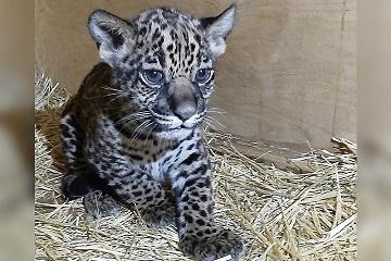 Ягуар родился в зоопарке Алматы