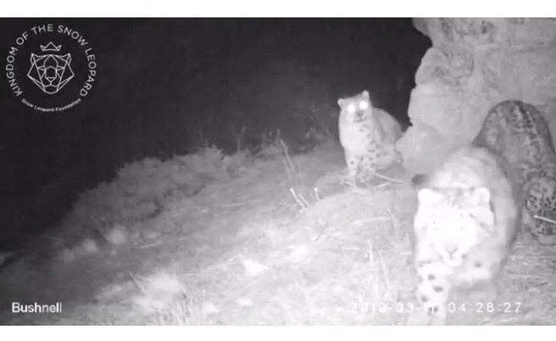Самка снежного барса с котятами попала на видео в горах близ Алматы