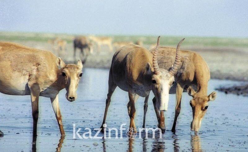 Число сайгаков в Казахстане увеличилось на 55% – Минэкологии