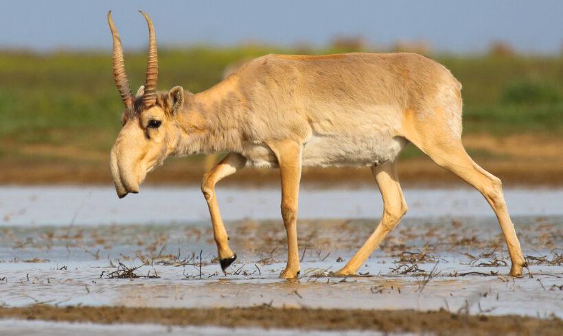 Резерват для сайгаков планируют создать в ЗКО