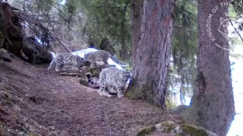 Самка снежного барса с потомством попала на видео близ Алматы