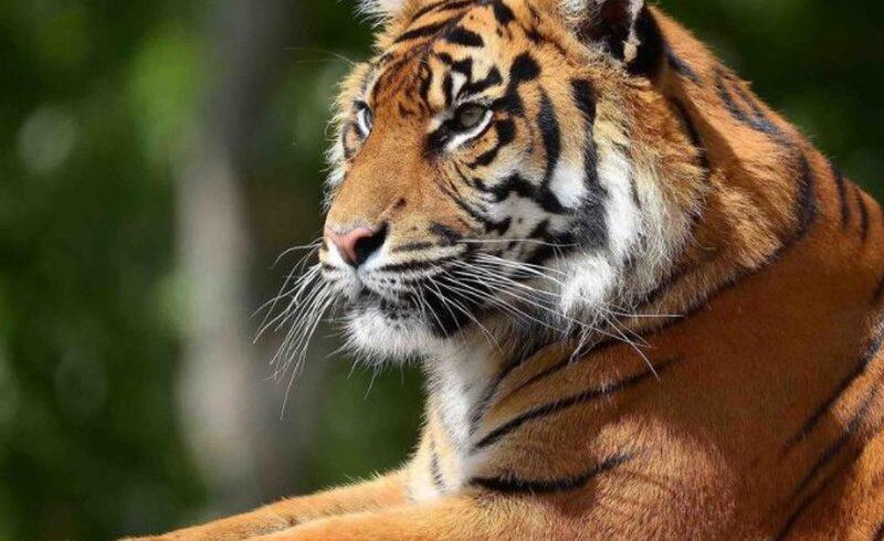 Минэкологии опубликовало видео с тиграми из фуры в Нур-Султане