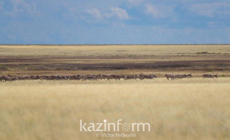 Около 14 тысяч сайгаков обитают в Коргалжынском заповеднике