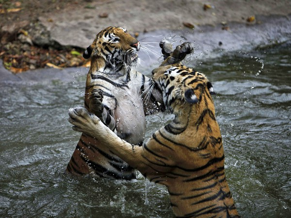 Битва двух тигров в Индии попала на видео