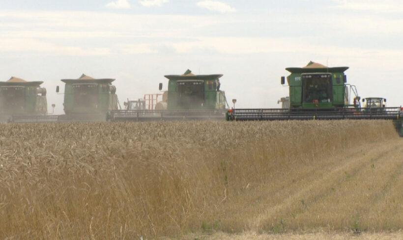 В Казахстане убрали более 20% площадей зерновых