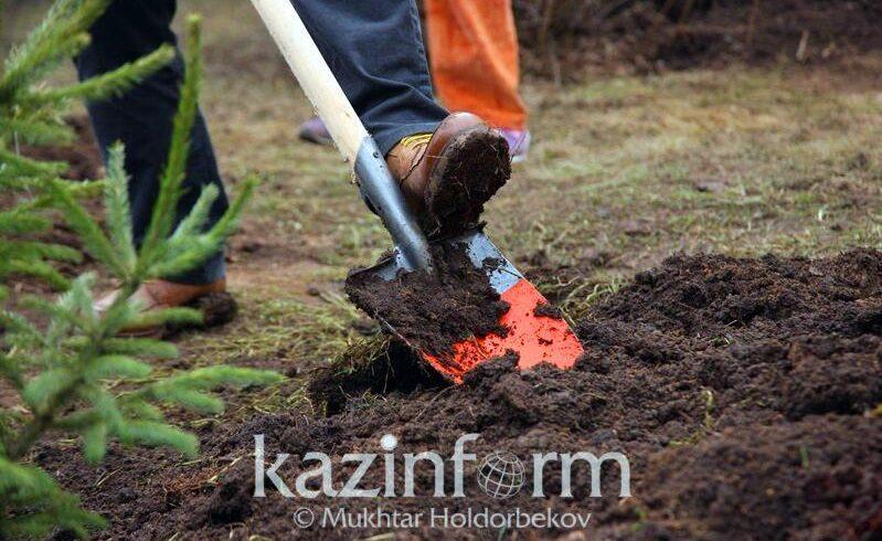 250 тысяч деревьев высадят в Алматы осенью