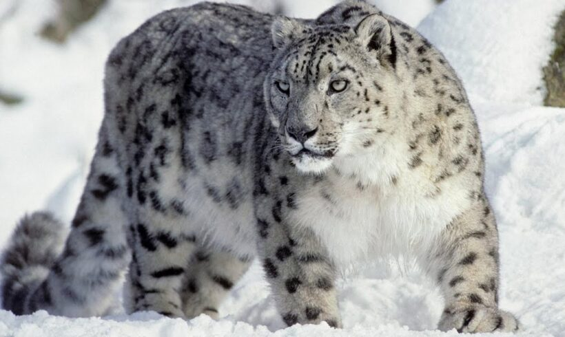 Снежный барс попал на фотоловушку в Алматинской области