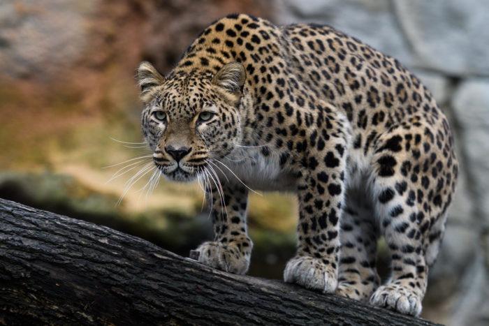 Редкий гость Казахстана: Переднеазиатский леопард попал в фотоловушку в Устюртском заповеднике