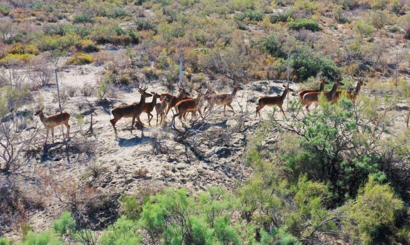 Іле-Балқаш резерватында Қызыл кітапқа енген бұғыны енгізу саны рекордтық көрсеткішке жетті